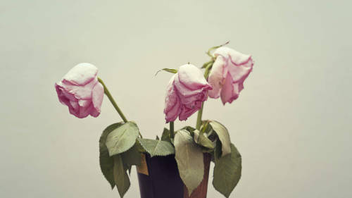 three dead roses